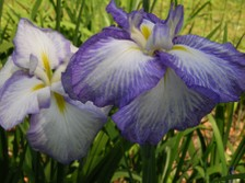 Japanese_iris_ii_26_may_2007