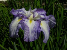 Japanese_iris_iv_26_may_2007