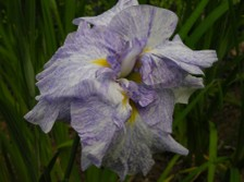 Japanese_iris_ix_26_may_2007