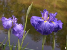 Japanese_iris_xi_26_may_2007