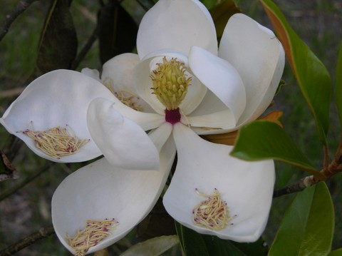 Little_gem_magnolia_25_may_2007