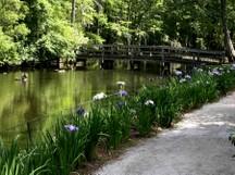 Swan_lake_iris_garden_i_26_may_20_2