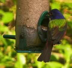 Painted_bunting_29_may_2007