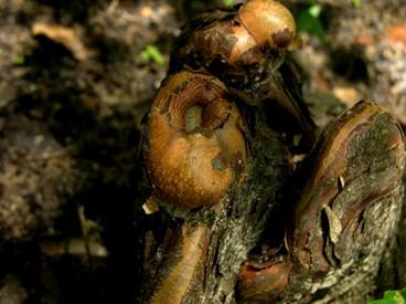 Cypress_knees_emerging_16_june_2007