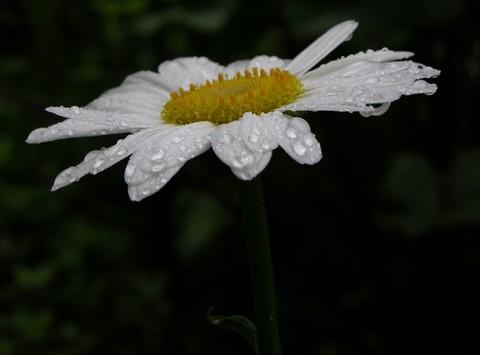 Daisy_21_june_2007