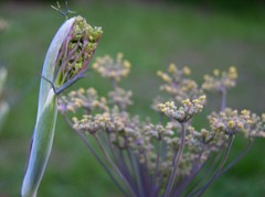 Fennel_i_27_june_2007