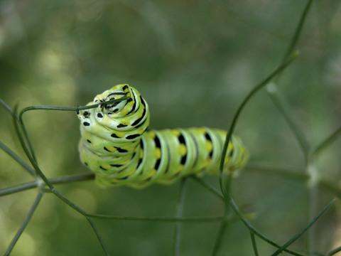 Swallowtail_caterpillar_i_17_july_2