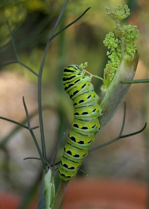 Swallowtail_caterpillar_ii_17_july_