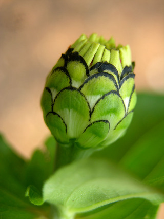 Zinnia_bud_from_moms_garden