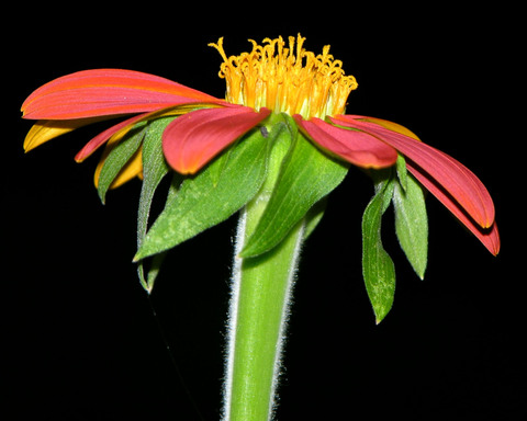 Mexican_sunflower_26_july_2007
