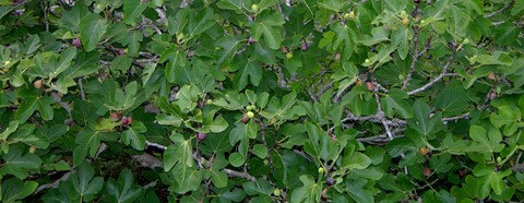 A_wall_of_figs