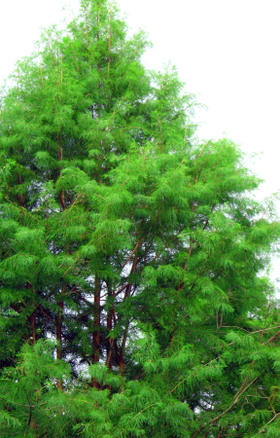 Bald_cypress_29_july_2007