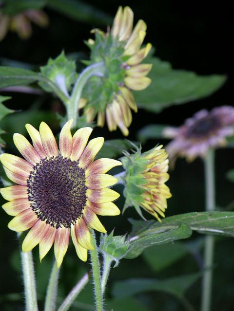 Sunflowers_i_25_august_2007