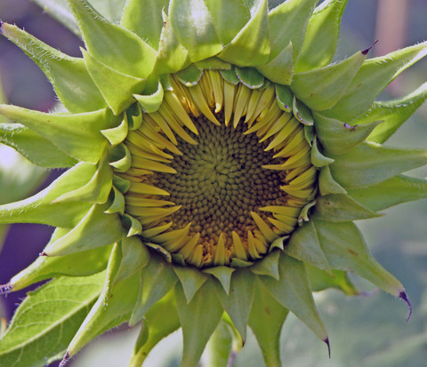 Sunflower_ii_27_august_2007