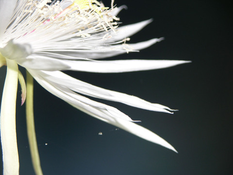 Night_blooming_cereus