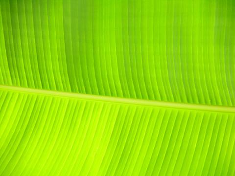 Banana_leaf_31_august_2007