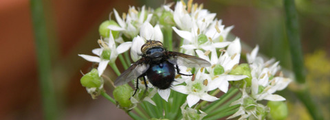 Bees_in_the_chives_vii_31_august__2