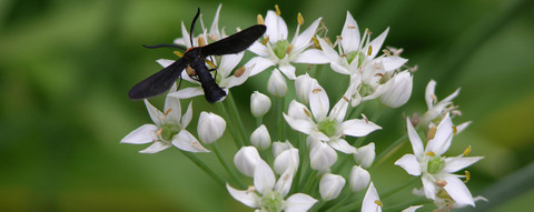 Insects_in_the_chives_iii_2