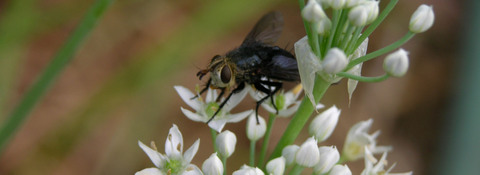 Insects_in_the_chives_ix_31_augus_2