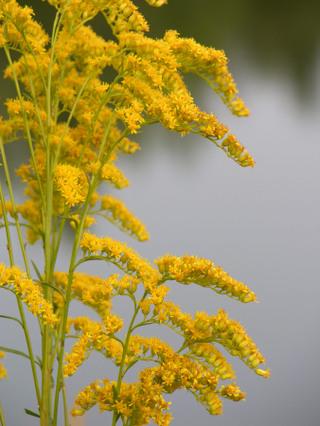 Goldenrod_by_frankies_pond_20_aug_2