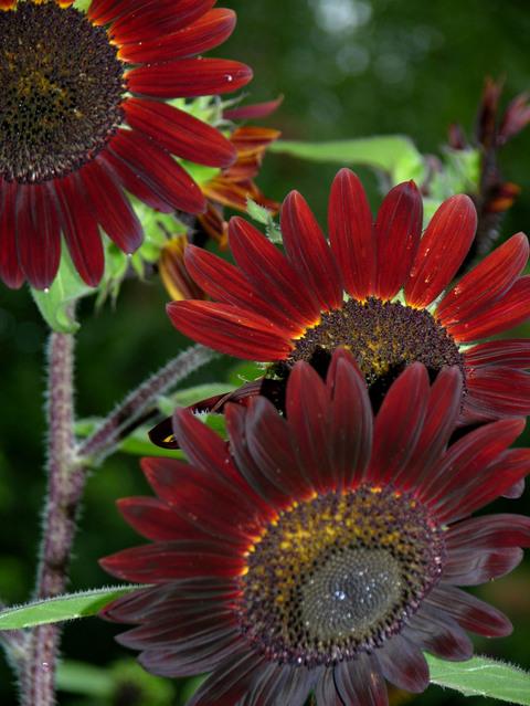 Sunflower_i_23_september_2007_2