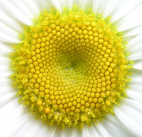 Daisy_close_up_26_june_2006