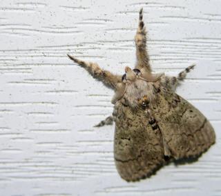Moth_13_august_2007_2