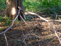 Bald_cypress_lower_branches_8_novem