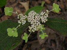 Fall_blooming_hydrangea_2