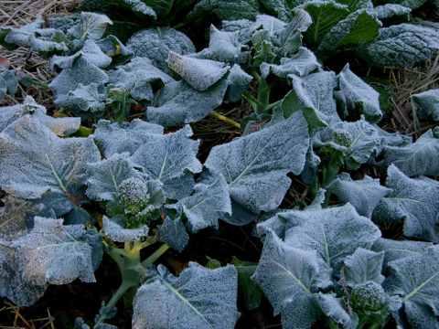 Frost_on_the_brocolli_ii_18_decem_3