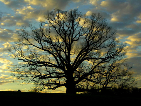 Earlysville_oak_27_december_2007
