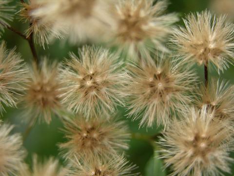 Iron_weed_vernonia_sp_15_november_2