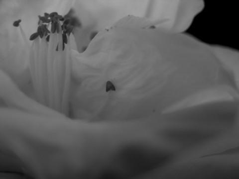 Camellia_16_february_2006