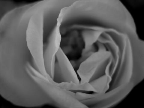 Camellia_ii_16_february_2006