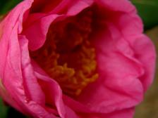 Camellia_japonica_brigadoon