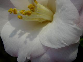 Camellia_japonica_margaret_radcli_2