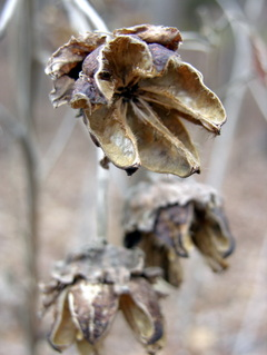 Dried_hibiscus_seed_pod