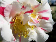 Camellia_japonica_15_february_2008