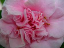 Camellia_japonica_debutante_15_febr