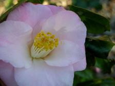 Camellia_japonica_margaret_radcliff