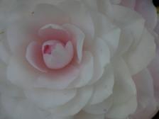 Camellia_japonica_nuccios_pearl_15_