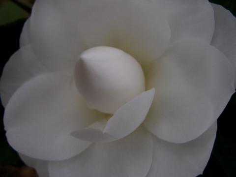 Camellia_japonica_seafoam_16_februa