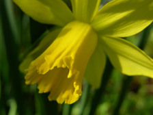 Daffodil_i_17_february_2008