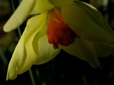 Daffodil_iv_15_february_2008
