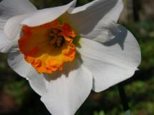 Daffodil_v_15_february_2008