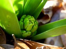 Hyacinth_15_february_2008