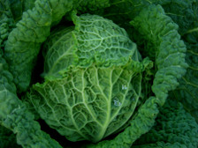 Savoy_cabbage_17_february_2008