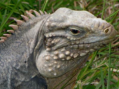 Iguana_closeup_12_march_2006