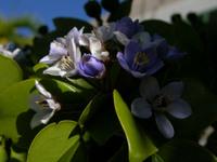 Flowers_from_tree_on_isla_mayaquez_