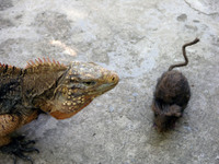 Rat_and_the_iguana_22_february_2008